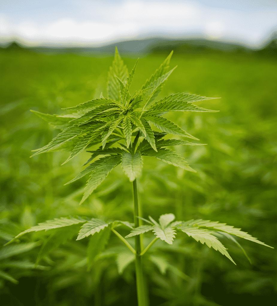 Dragonfly CBD Organic CBD Oil Why you should buy Organic CBD Oil Organic Cannabis Plant