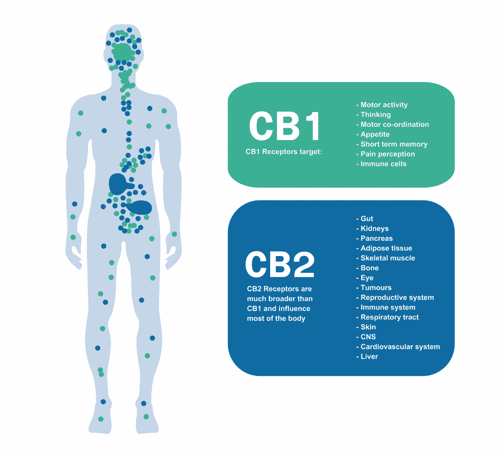 diagram of human body and cannabinoid receptors cb1 and cb2