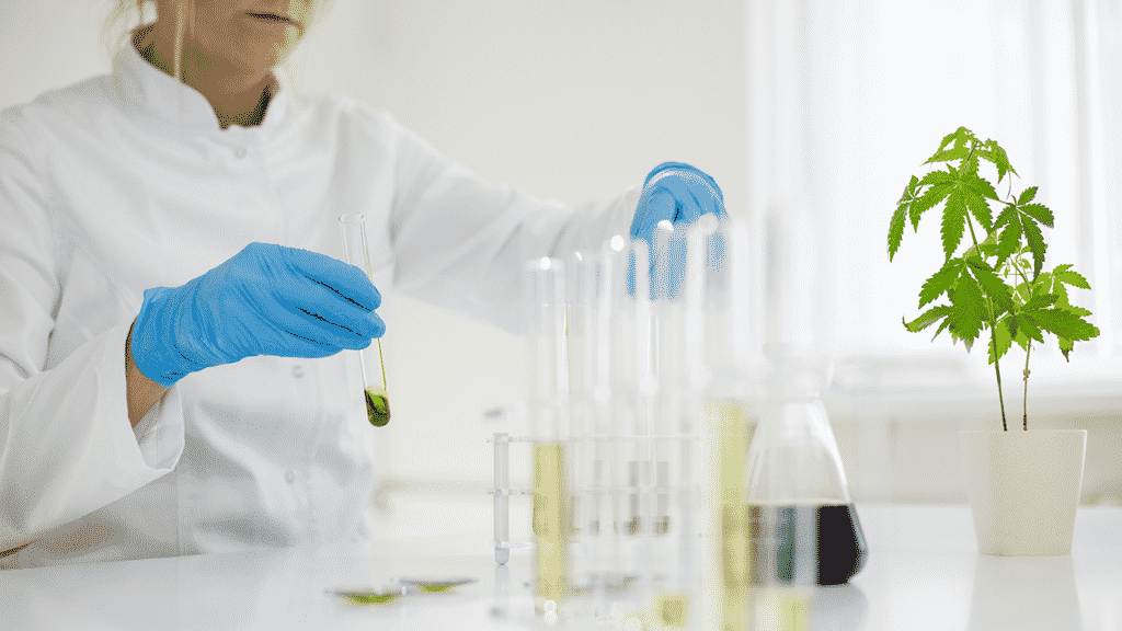 Female scientist in laboratory testing cbd oil extracted from a cannabis plant. She is using a various long glass tubes and bowls for the experiment. Healthcare pharmacy from medical cannabis.